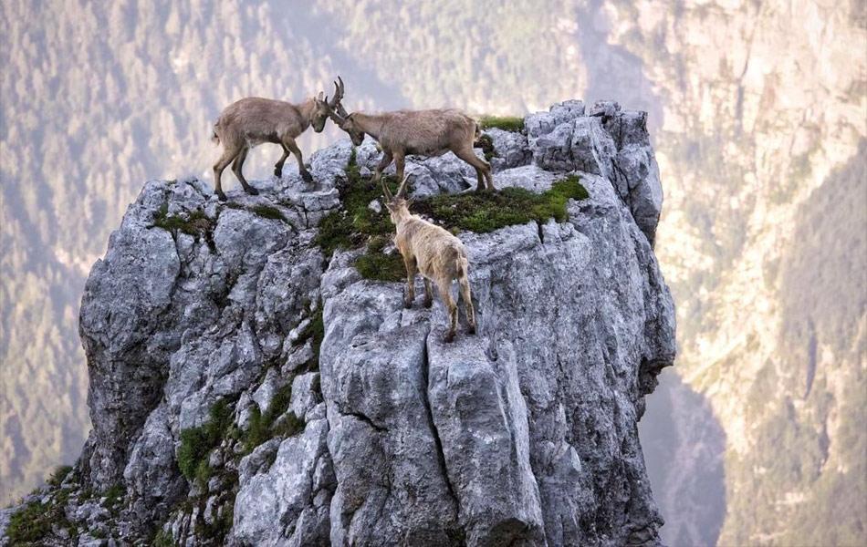 世界最勇敢山羊:一万英尺悬崖上演决斗
