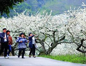 惠东梁化梅园:李子花开出了一片雪海(图)