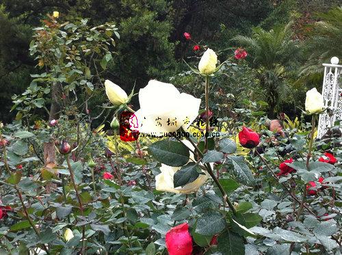 广州园林博览会之玫瑰园