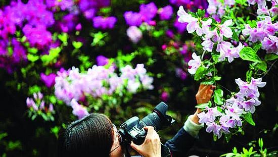 春游推荐:罗浮山10公里的杜鹃花(图)