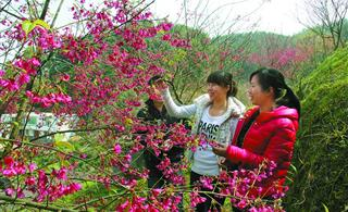 三元:福建山樱花遍地开