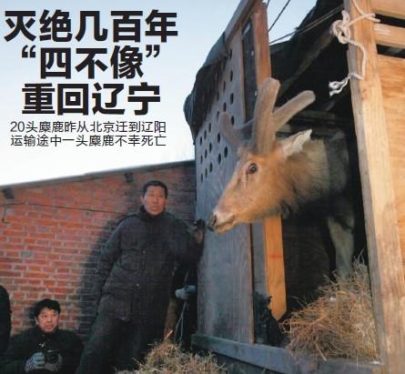 在辽宁灭绝几百年20头麋鹿昨从北京回到辽阳