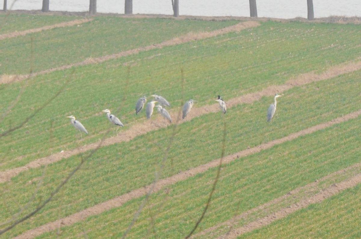 【莘县吧】2012年春,金堤河畔拍水鸟