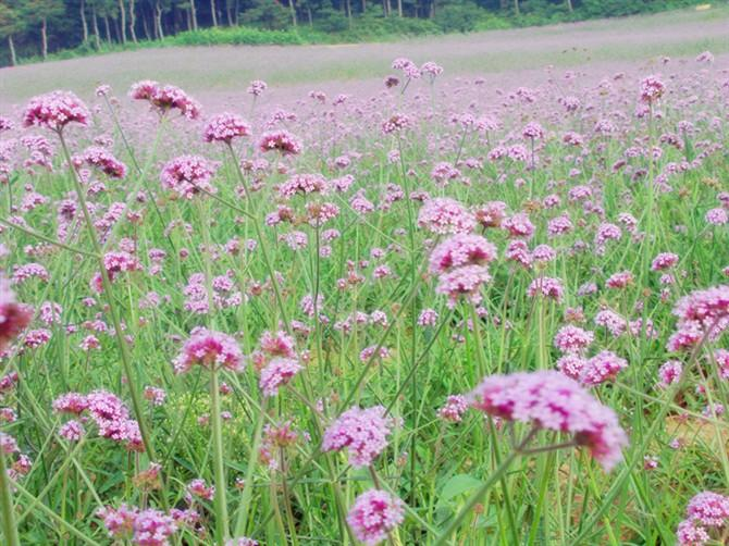 创盈国际紫烟薰衣草庄园实拍照片