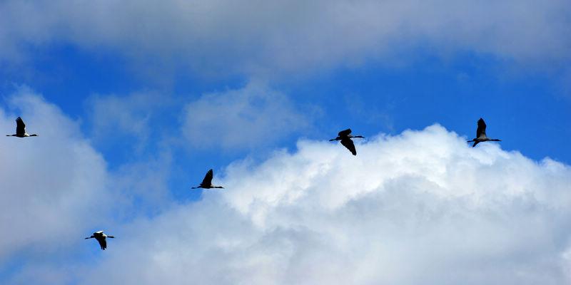 愉悦的大山包黑颈鹤
