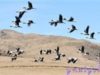 黑颈鹤的美丽家园