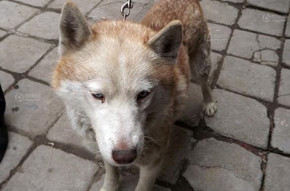 滕州警方宣称抓获白色母狼 网友称是自家哈士奇