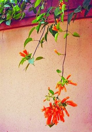 在惠州,总有几种花让你过目不忘