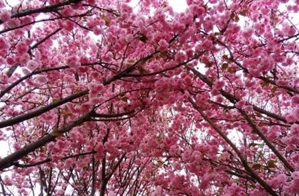 [分享]樱花--粉红精灵