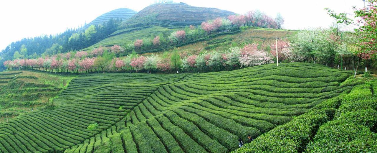 贵州那片茶山的风景