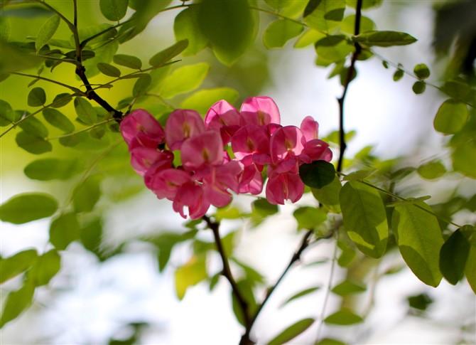 身边的风景紫红色的洋槐花