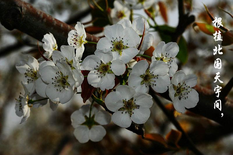 中国789彩票第五届梨花节定于2015年4月17日举行