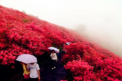 组图:2012年湖北麻城龟峰山风景区杜鹃花花期预报