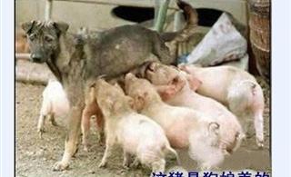[贴图]猪吃狗奶哈哈