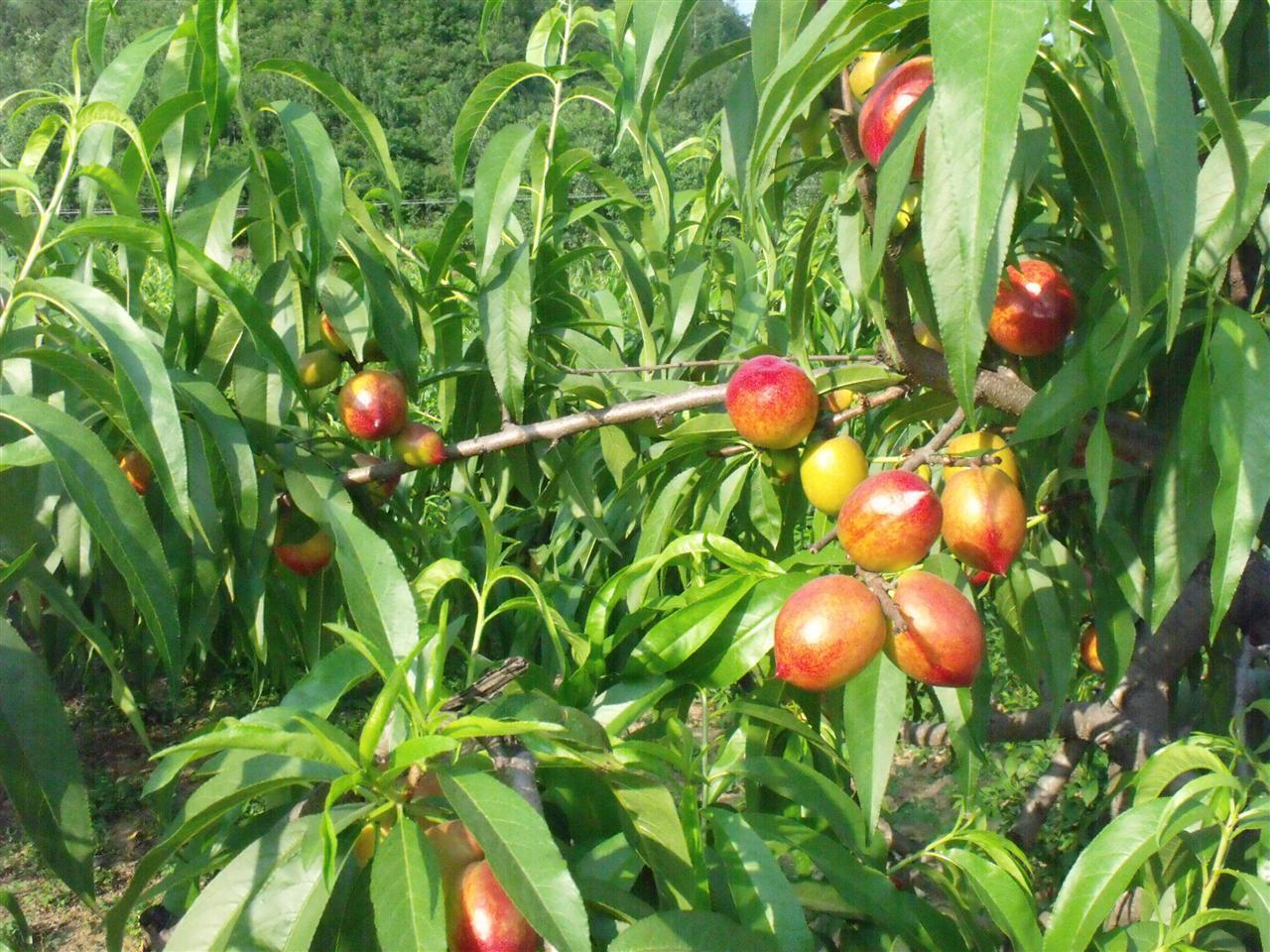 赤眉油桃正在不断上市中,以下是油桃地里实拍图片