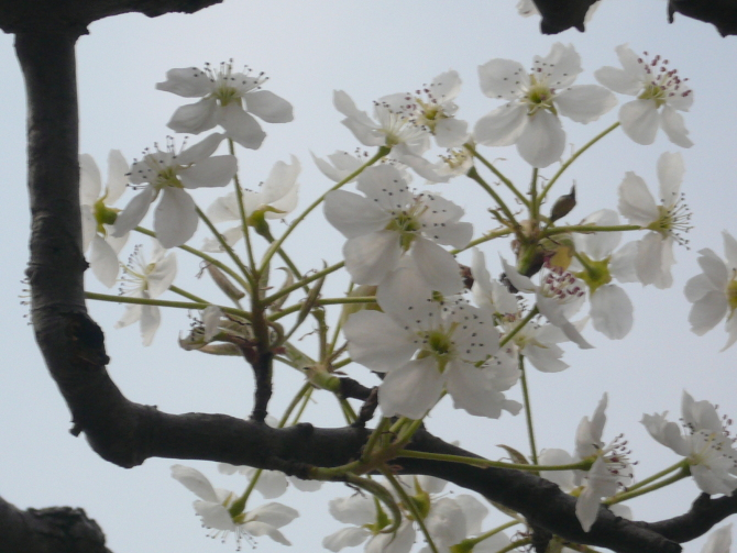 [原创]前几年在刘庙拍的梨花