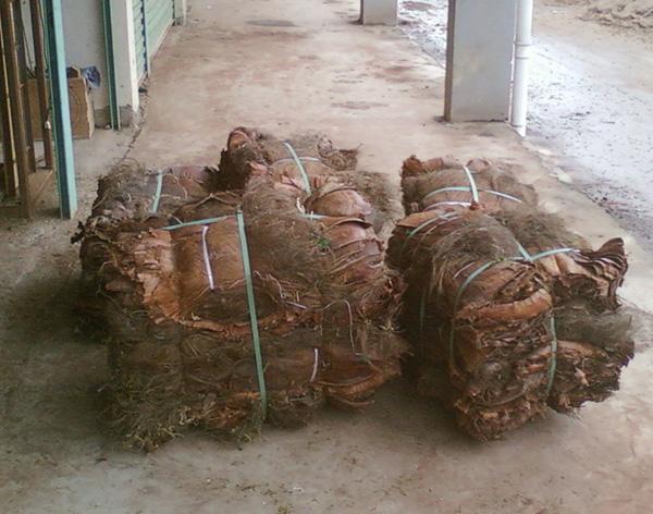 [原创]大量收购棕树皮――-!