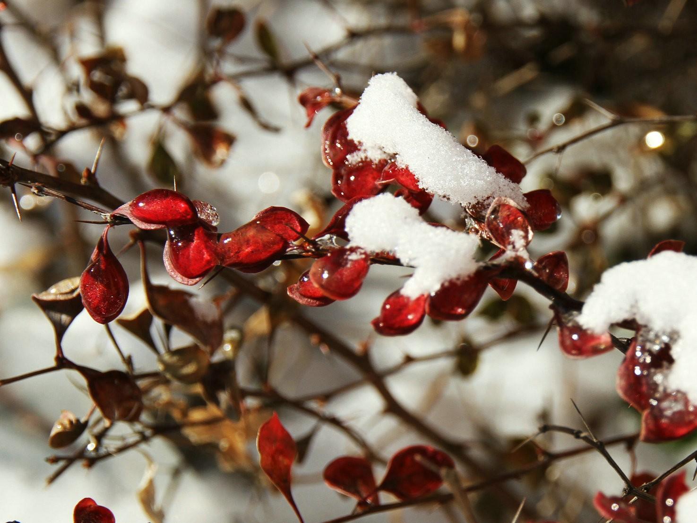 下雪后的叶子