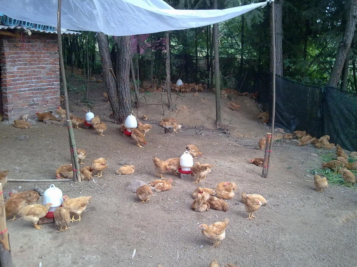 出售森林雌鸡