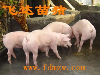 江苏飞达苗猪养殖基地优质仔猪低价卖