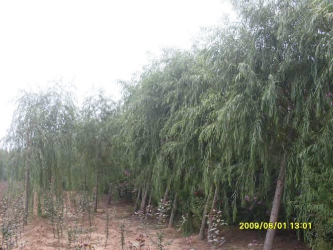 大量供應:各種規格柳樹