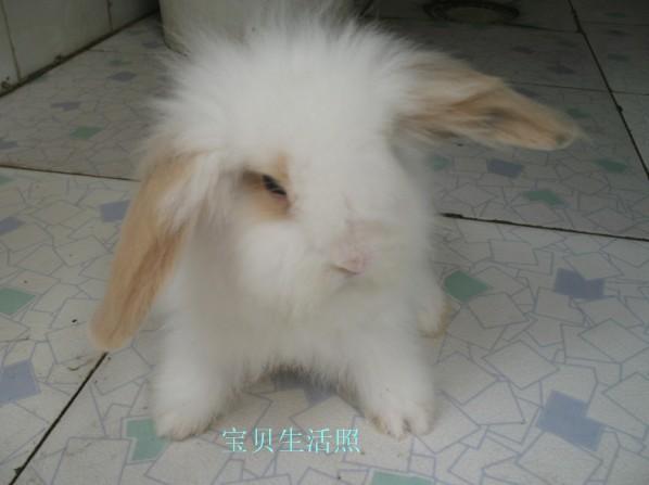出售荷蘭垂耳兔