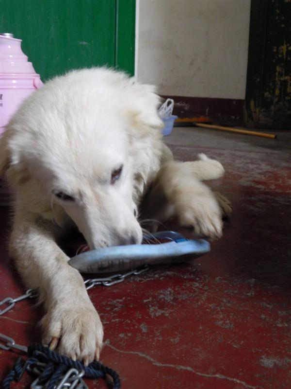 成年大白熊犬只出售
