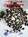 薏苡-薏仁米種子出售及收購