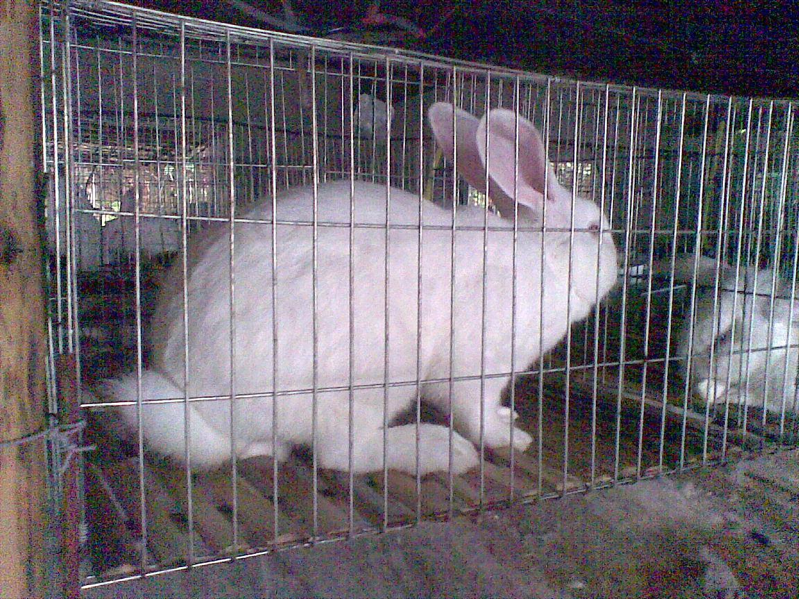 专业肉兔养殖