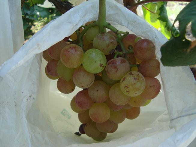 出售无核味甜葡萄