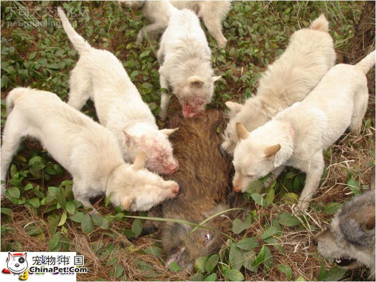 杨三元纯种下猎犬