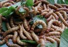 长期出售黄粉虫