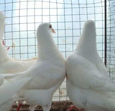 桃園鴿業供純種白羽王種鴿