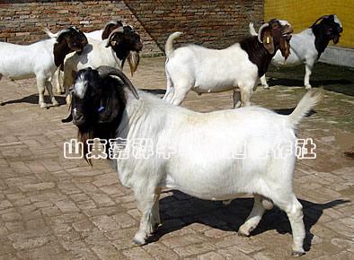 我场出售小尾寒羊500只,牛羊养殖的效益分析