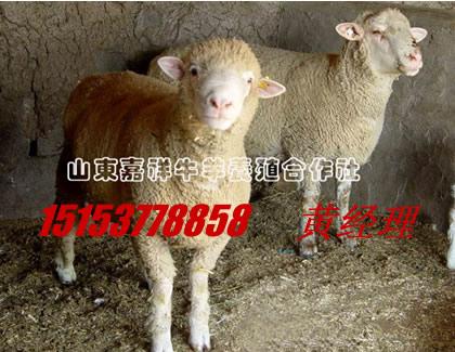 济宁杜泊羊、小尾羊,养殖,经验丰富技术好