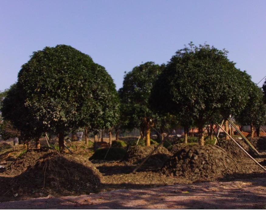 出售树木苗圃