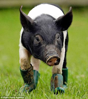 瑞陽高山散養土豬名片