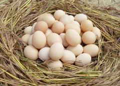 高山散養柴雞蛋