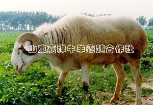 2011年肉牛种羊真实行情