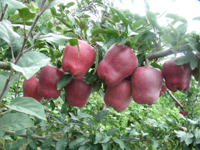 甘谷在线天水甘谷苹果鑫茂果业