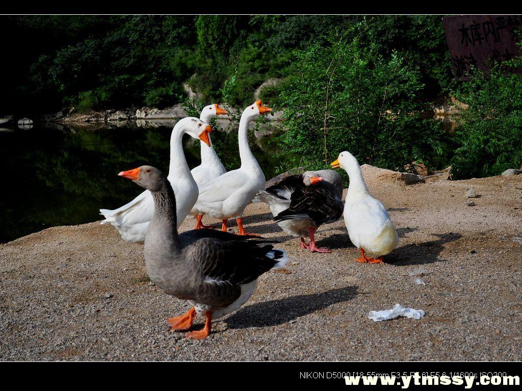 大量鵝出售