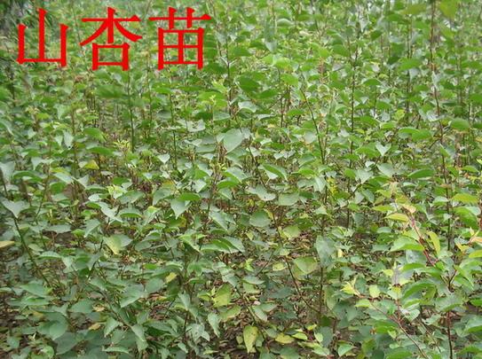 """平涼地區大量出售一年生""""山杏苗"""""""