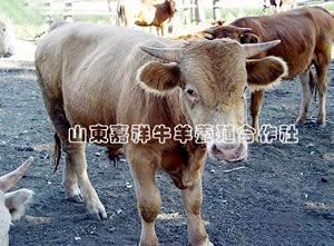 种公牛的质量要求
