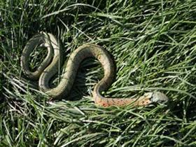 一米多长花蛇夜闯民宅 捕蛇高手10秒将其抓获