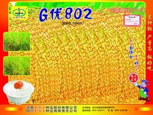 水稻杂交种——G优802
