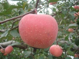 礼泉苹果网