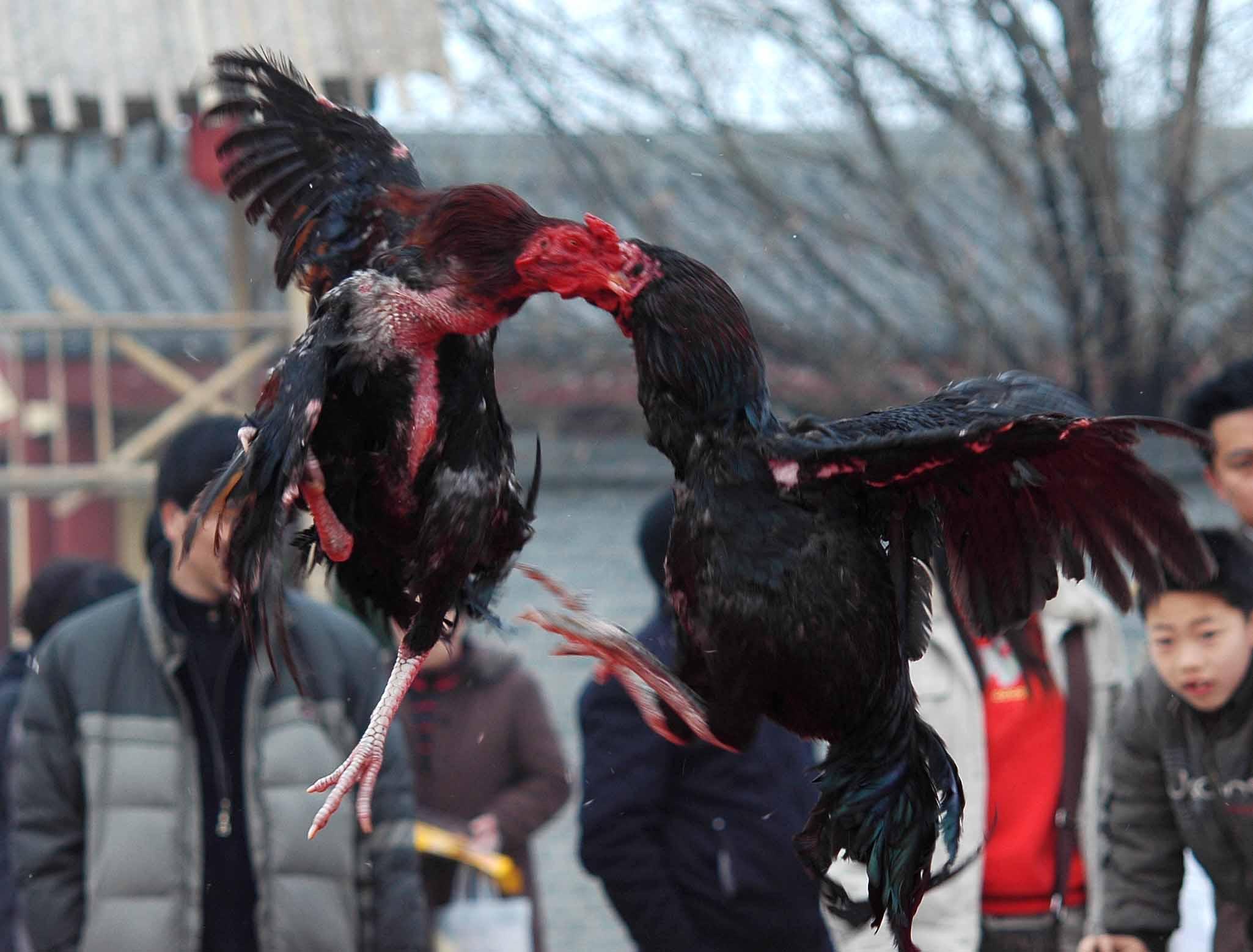越南原种斗鸡、欢迎前来考察购买