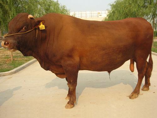 莱芜市有没有肉牛养殖场哪里有养牛场什么地方有卖牛的