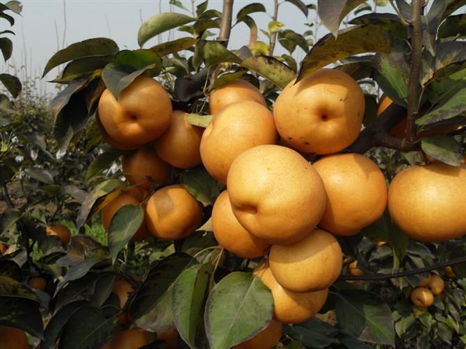 优质晚秋黄梨大量上市!共有10万斤左右