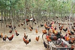 处理树林散养土笨公鸡100只左右大量要的联系18元